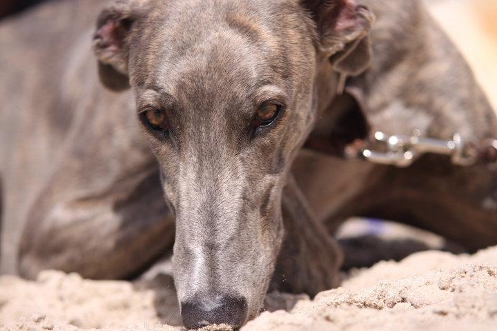 greyhound hodowla z jurajskich biskupic