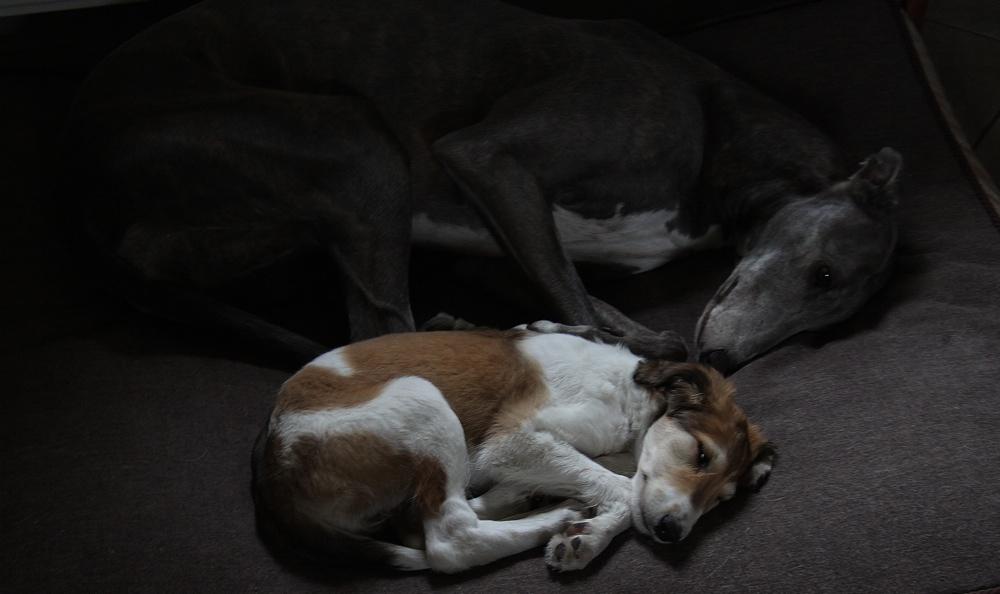 greyhound i borzoj