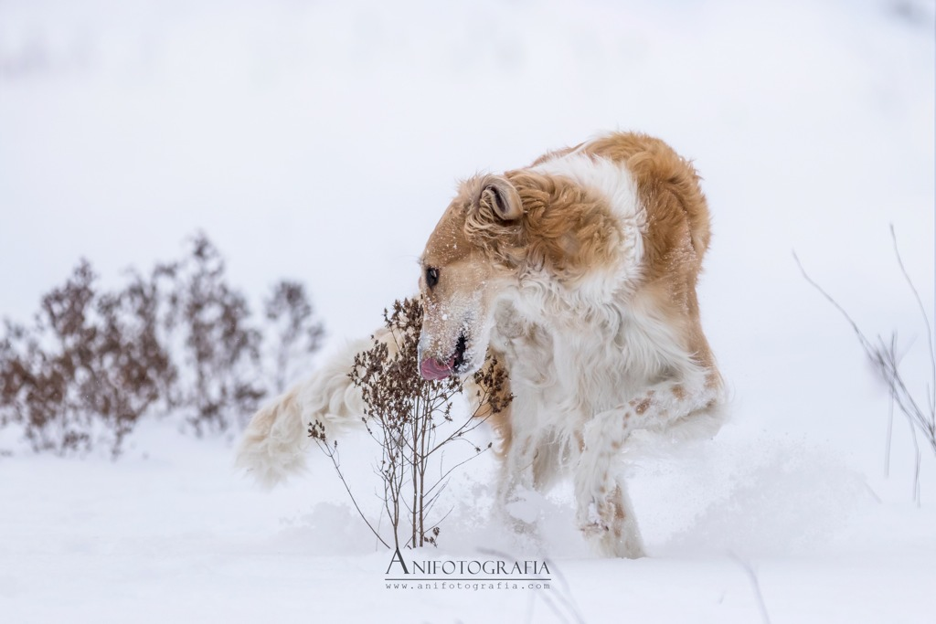 borzoj zimą